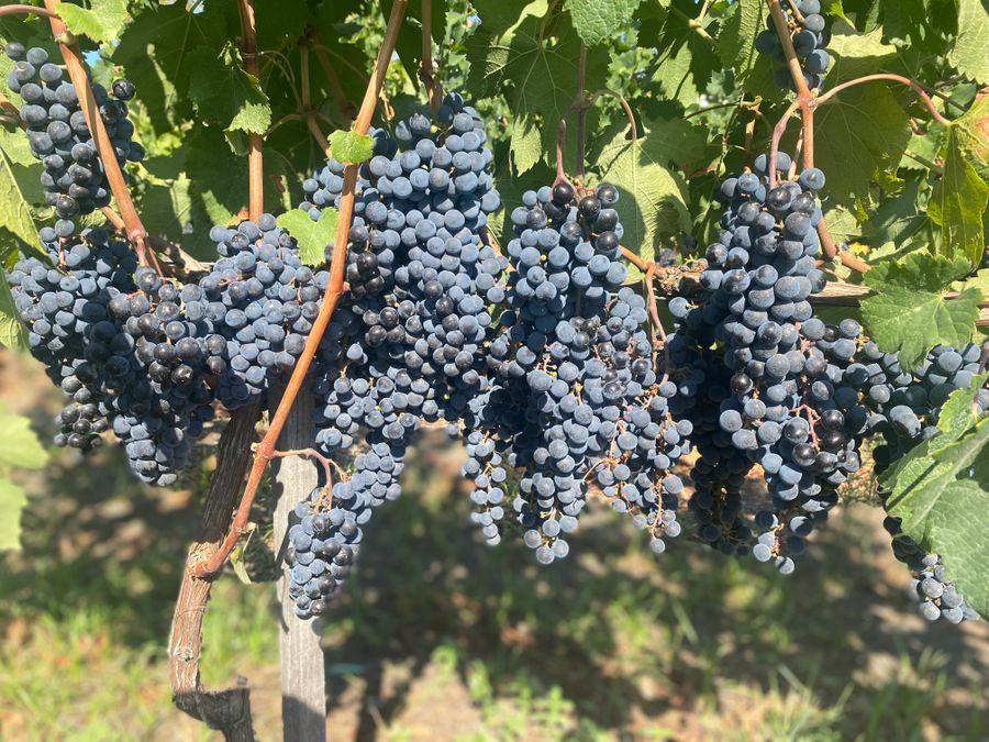 Druiven Wijnproeverij